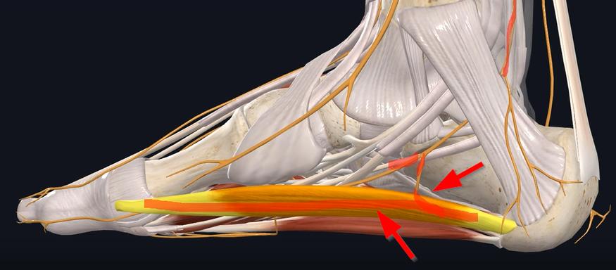 medial calcaneal tuberosity in Baxter's Neuropathy
