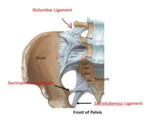 pelvic ligaments