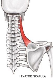 Levator Scapulae - ligament and bone