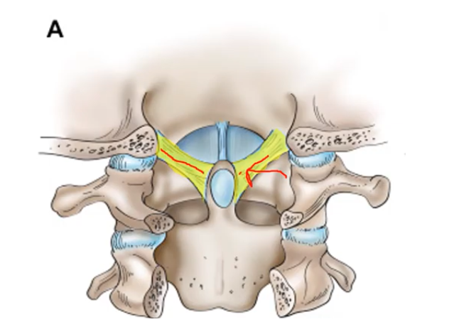 Alar ligaments in CCI operation