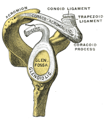 Attachment of short head of the biceps muscle