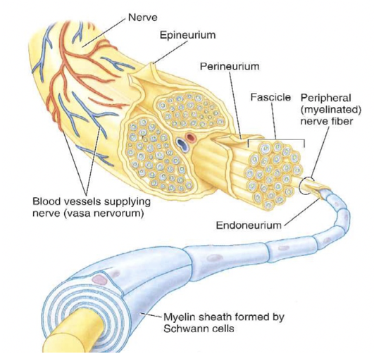 layers of protection in tibial nerve injury